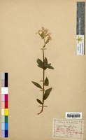 Saponaria officinalis (Caryophyllaceae)