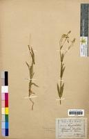 Saponaria vaccaria (Caryophyllaceae)