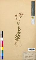Silene armeria (Caryophyllaceae)