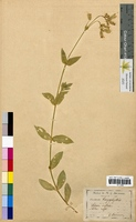 Silene inflata (Caryophyllaceae)