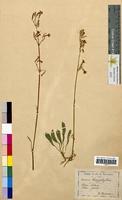 Silene nutans (Caryophyllaceae)