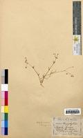 Spergula arvensis (Caryophyllaceae)
