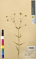 Stellaria holostea (Caryophyllaceae)