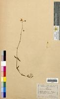 Helianthemum vulgare (Cistaceae)