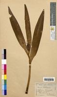 Colchicum autumnale (Colchicaceae)