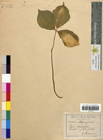 Paris quadrifolia (Trilliaceae)