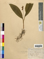 Convallaria majalis (Convallariaceae)