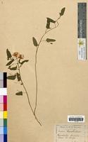 Convolvulus arvensis (Convolvulaceae)