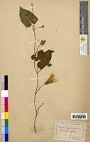 Convolvulus sepium (Convolvulaceae)
