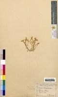 Sedum acre (Crassulaceae)