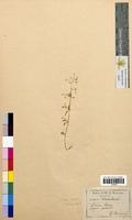 Sedum cepaea (Crassulaceae)