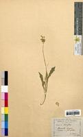 Biscutella laevigata (Brassicaceae)