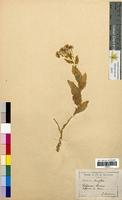 Calepina corvini (Brassicaceae)
