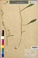 http://bibliotheque-virtuelle.clermont-universite.fr/files/fichiers_bcu/Bupleurum_falcatum_CLF098347.jpg