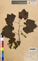 http://bibliotheque-virtuelle.clermont-universite.fr/files/fichiers_bcu/Vitis_vinifera_CLF098479.jpg