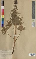 Delphinium elatum (Ranunculaceae)