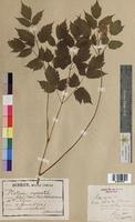 Actaea spicata (Ranunculaceae)