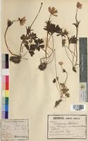 Anemone stellata (Ranunculaceae)