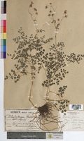 http://bibliotheque-virtuelle.clermont-universite.fr/files/fichiers_bcu/Thalictrum_foetidum_MTBRIS0021.jpg