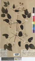 Clematis vitalba (Ranunculaceae)