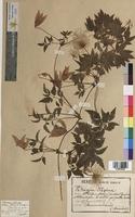 Atragene alpina (Ranunculaceae)