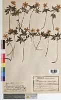 Anemone nemorosa (Ranunculaceae)
