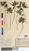 Anemone ranunculoides (Ranunculaceae)