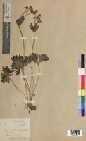 Anemone narcissiflora (Ranunculaceae)