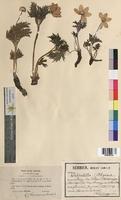 Pulsatilla alpina (Ranunculaceae)