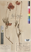 Papaver rhoeas (Papaveraceae)