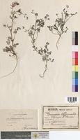 Fumaria officinalis (Fumariaceae)