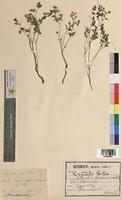 Corydalis lutea (Fumariaceae)