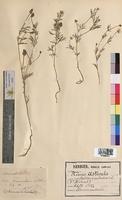 Adonis aestivalis (Ranunculaceae)