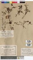 Ranunculus aquatilis (Ranunculaceae)