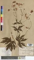 Ranunculus platanifolius (Ranunculaceae)
