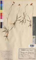 Ranunculus gramineus (Ranunculaceae)