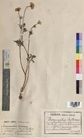 Ranunculus bulbosus (Ranunculaceae)