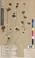 Ranunculus montanus (Ranunculaceae)