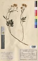 Ranunculus acris (Ranunculaceae)