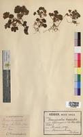 http://bibliotheque-virtuelle.clermont-universite.fr/files/fichiers_bcu/Ranunculus_muricatus_MTBRIS0082.jpg