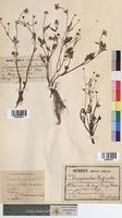 Ranunculus philonotis (Ranunculaceae)