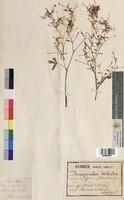 Ranunculus sceleratus (Ranunculaceae)