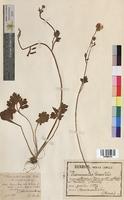 http://bibliotheque-virtuelle.clermont-universite.fr/files/fichiers_bcu/Ranunculus_saxatilis_MTBRIS0088.jpg