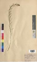Barbarea arcuata (Brassicaceae)