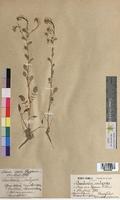 Barbarea vulgaris (Brassicaceae)