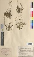 Cardamine hirsuta (Brassicaceae)