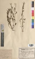 Cardamine sylvatica (Brassicaceae)