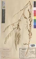Cardamine impatiens (Brassicaceae)