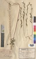 Erysimum cheiranthoides (Brassicaceae)