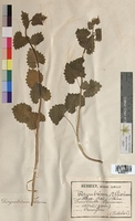 Sisimbryum alliaria (Brassicaceae)